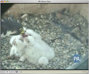 feeding time at the Harrisburg nest