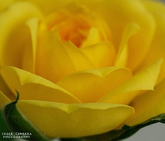 Dreaming in Yellow, by Flickr user Cesar R.