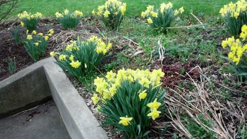 Melissa's daffodils
