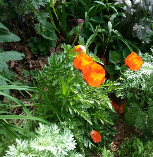 photo of bright orange poppies, taken by Rebecca O'Connell