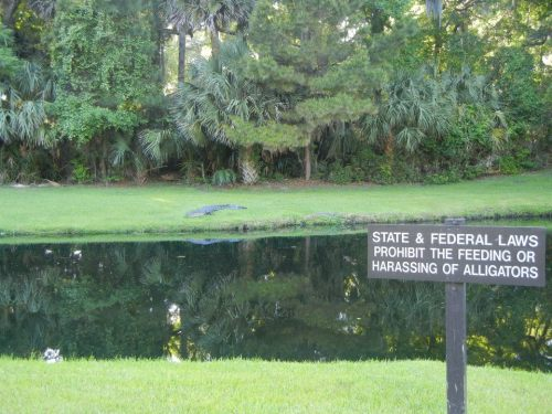 I will probably harass this alligator. Photo by: Me